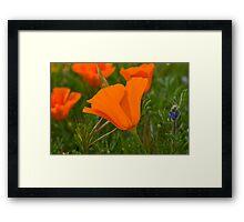 Antelope Valley California Poppy Framed Print