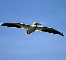 American White Pelican by flyfish70