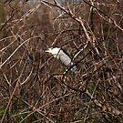 Black - Crowned Night - Heron by flyfish70