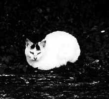 White furry cat by Deepak Pitta