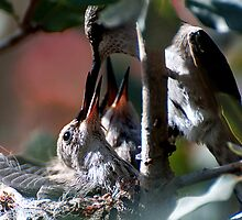 Update Hummingbird Babes  by Judy Grant