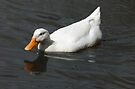 White  Duck ~ Beus Pond by Jan  Tribe