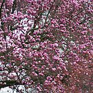 Pink Magnolia Tree in FULL BLOOM  by Ruth Lambert