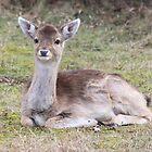 Fallow Deer_4156 by DutchLumix