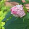 A Flower Bud