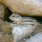 Chipmunk in Arizona by Bonnie Pelton