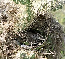 Cactus Wren ~ Nesting Female by Kimberly Chadwick