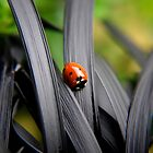 Ladybird by Karen  Betts