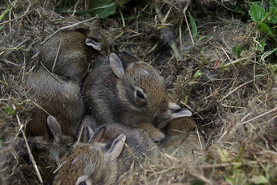 Nest of Baby Bunnies by Molly  Kinsey