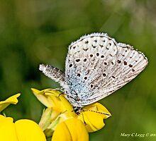 Zephyr Blue,  plebeius pylaon by pogomcl