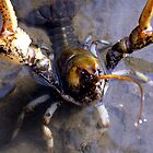 BATTLE! (1st CRAWDAD of the year) by Carla Wick/Jandelle Petters