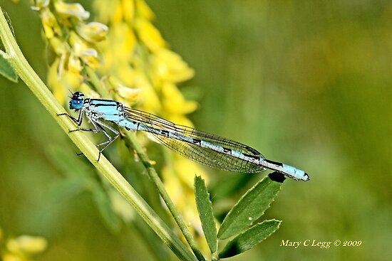 Common Blue Damselfly,  Enallagma cyathigerum by pogomcl