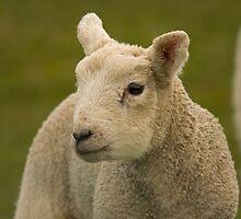 little spring lamb by Jon Lees