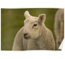 little spring lamb Poster