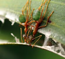 greenants, nest building by col hellmuth