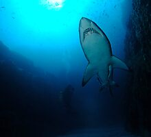 Grey Nurse Shark, South West Rocks by Sean Elliott