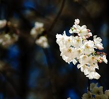 cherry blossoms by Phillip M. Burrow