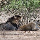 THE LIONS AT THE GIRAFFE KILL by Magaret Meintjes