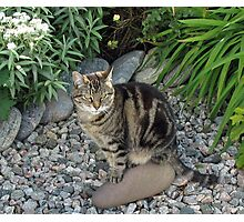 Sitting Pretty - Tabby Cat in a Rockery Photographic Print