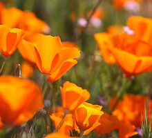 Golden State Poppies by wademcmillan