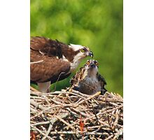 An Osprey Feeding a Chick Photographic Print
