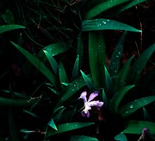 Lone Blue Iris in Leaves by Jay Gross