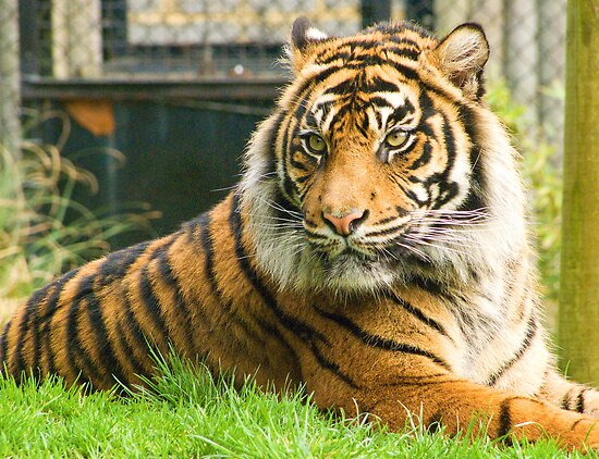 Magestic Tiger by Colin J Williams Photography