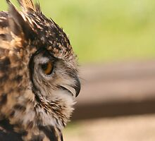 Owl by BigAl1