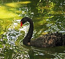 Black Swan, Forth Worth Zoo by Kenric A. Prescott