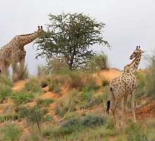Giraffe grazing in Africa by Rudi Venter