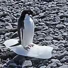 Adelie pinguin on his last piece of ice in Antarctica by Marieseyes