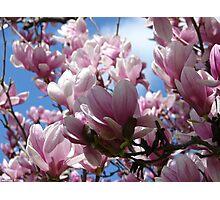 Saucer Magnolia Spring Blossoms - Hot Springs National Park, Arkansas Photographic Print