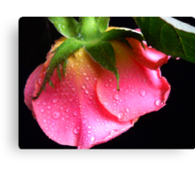 Pink Rose. Canvas Print
