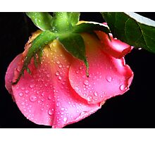Pink Rose. Photographic Print