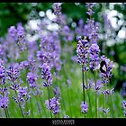 Lavender by elithenia