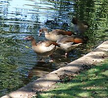 sweet ducks in st. james' garden by Elena Arzani