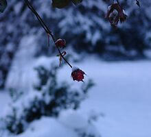 rose in winter by Elena Arzani