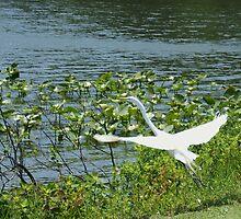 Herron in flight by Kenric A. Prescott
