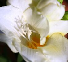 White Freesia by sstarlightss