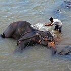 Bath Time At Pinnewala, Sri Lanka. by Ralph de Zilva