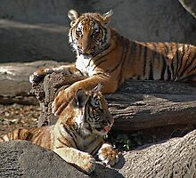 Malayan Tiger Cubs at Rest by Kathy Newton