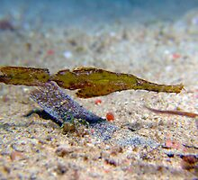 Robust Ghost Pipefish - Philippines by Sean Elliott