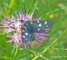 Variable Burnet , Zygaena ephialtes by pogomcl