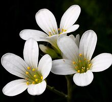Meadow Saxifrage by Roger Butterfield