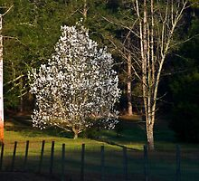 Dogwood in Morning Light by Rick  Bender