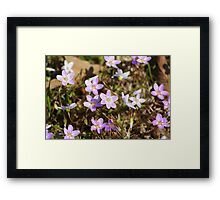 Red Robin flowers are beginning to blossom...... Framed Print