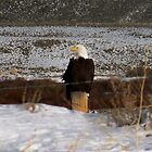 fence eagle by jeff welton