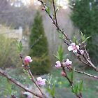 Nectarine Budding Fruit Tree by JeffeeArt4u