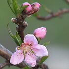 Blooming Nectarine Bloom by JeffeeArt4u