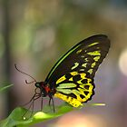 Cairns Birdwing Butterfly by Rosemaree